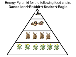 do now  qs what is an appropriate title for this diagram      energy pyramid for the following food chain  dandelion  rabbit  snake  eagle