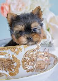 adorable yorkie puppy for in broward county teacups puppies