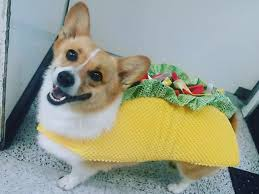 pug in taco costume. Interesting Taco Taco Cat Spelled Backwards Is Cat Dog God O  Here Are Some Photos Of Dogs And Cats Wearing Taco Costumes For Pug In Costume 5