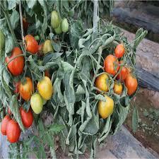 suntoday determinate redd best tomato seeds planter small cherry bacteria wilt f1 hybrid in bulk garden