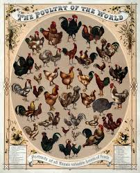 Different Types Of Chickens Chart List Of Chicken Breeds Wikipedia