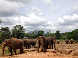 pinnawala elephant orphanage in sri lanka pinnawala elephant orphanage