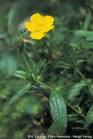 Helianthemum nummularium subsp. glabrum