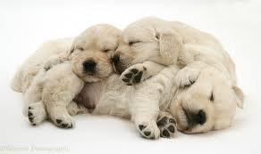 golden retriever puppies sleeping.  Puppies Three Golden Retriever Pups Sleeping White Background To Puppies Sleeping P