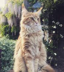 Free stock photo of ginger cat, maine coon, majestic