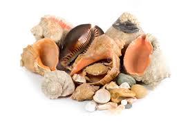Znalezione obrazy dla zapytania muszle morskie