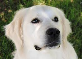white golden retriever puppies for sale. White Golden Retriever Named Jim To Puppies For Sale