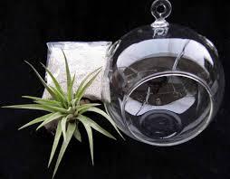 airplant hanging glass globe terrarium