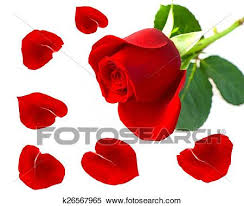 single red rose flower with petals