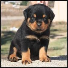 baby rottweiler. Wonderful Rottweiler Baby Rottweiler Dogs And Puppies Cute Pet Dogs Dog Cat For