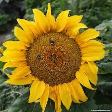 sunflower seeds yellow pygmy