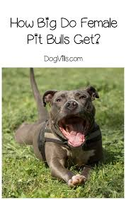Average Pitbull Weight Chart How Big Does A Female Pit Bull Get Dogvills