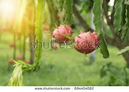 Dragon Fruit Tree  All The Best Dragon In 2017Dragon Fruit On Tree