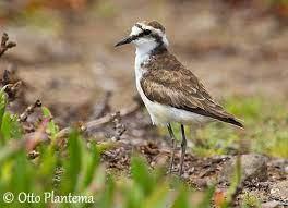 St. Helena Plover or Wirebird