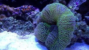 carpet anemone eating silverside