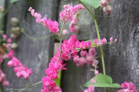 Climbing Plants For Shade  Shade Plants  HGTVClimbing Plants Texas