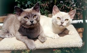 Burmese Kitten Weight Chart Burmese Cats Burkes Backyard