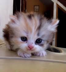 calico kittens for sale. Brilliant Sale Persian Calico Kittens For Sale  Calico Persian Cat For  Rawalpindi Inside
