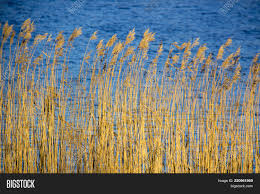 dry grass field background. Cattail Dry Grass Reeds On River In Snow Winter Landscape. Tall Bulrush Field. Field Background