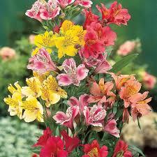 details about alstroemeria hardy perennial mix garden plants peruvian lily bareroot plants t m
