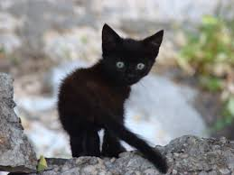 black cats with yellow eyes kitten. Simple Cats Cuteblackkittenswallpaperblackandwhitecats Withblueeyesblackwhitecatbreedswithkadspofmjpg Inside Black Cats With Yellow Eyes Kitten