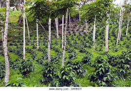 shade grown coffee plantation. Plain Grown Photo Credits Blackthroated Blue Warbler U2013 Wwwpinterestcom Shadegrown  Coffee Plantation  Wwwalamycomstockphotocoffeeplantation Landscapehtml Intended Shade Grown Coffee Plantation