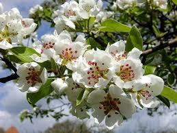 Alberi in fiore molte alberi fiore di ciliegio avenue natura fiori foto fiore, molti, sakura sfondi, immagini scaricare per desktop pc, tablet. Alberi Per Il Giardino Pyrus Pero Da Fiore Ville E Giardini