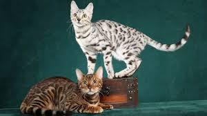 white bengal cat. Beautiful Cat White Bengal Cats For Cat YouTube