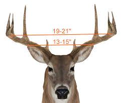 Deer Antler Age Chart Field Scoring A Deer 101 Buckscore