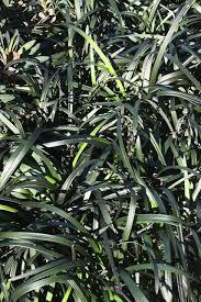 Black Mondo Grass Background