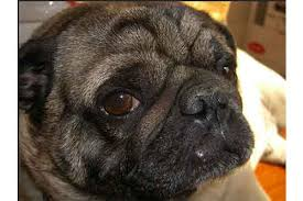 can pugs get pimples and what to look for