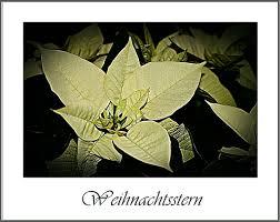 Weihnachtsstern Foto Bild Rot Natur Pflanzen Bilder