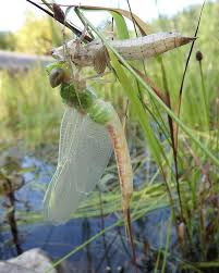 dragonfly nymph shedding its skin to reveal an dragonfly yesterday at the delaware water gap