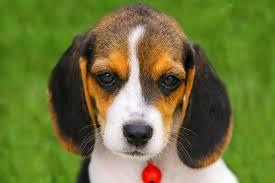 cute beagle puppies. Perfect Puppies Closeup Of A Cute Beagle Puppy Throughout Cute Puppies