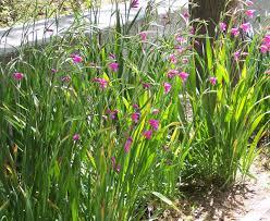 Gladiolus communis - Wikipedia