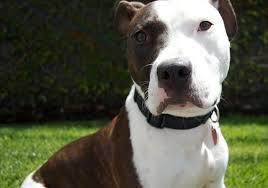 bull terrier pitbull mix. Fine Pitbull Bull Terrier Pit Mix In Pitbull Good Bulls