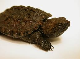 Image result for baby snapping turtles