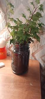 Just got a new ivy plant and put it in a mason jar; is that okay? :  marijuanaenthusiasts