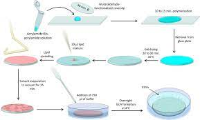 giant unilamellar vesicles
