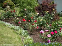 Roses blooming in a Seattle front yard garden