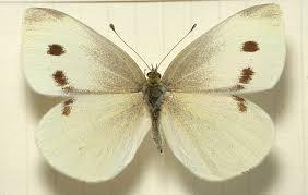 Moth Identification Chart Pieris Rapae Wikipedia