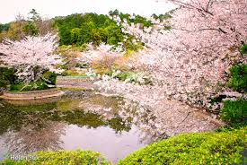 the meaning of cherry blossoms in an