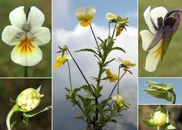 Viola arvensis Murray - Sistema informativo sulla flora delle Alpi ...