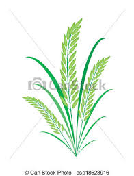 rice plant drawing. Unique Plant Cereal Plants Or Green Rice On White Background  Csp18628916 To Plant Drawing