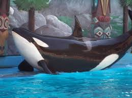 tilikum attack footage. Simple Tilikum The  For Tilikum Attack Footage A