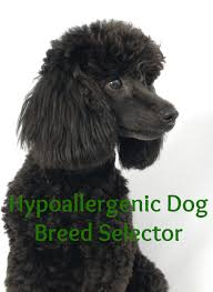 find your ideal pooch with a hypoallergenic dog breed selector