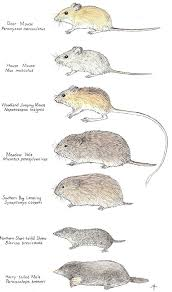 Rodents Lower Classifications What Are Mice All About The Different Types Of Mice