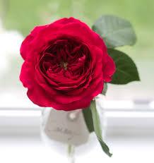 darcey david austin garden rose