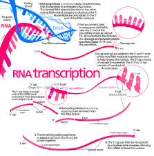 Replication Transcription Translation Chart Protein Biosynthesis Wikipedia