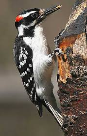 Image result for Hairy Woodpecker